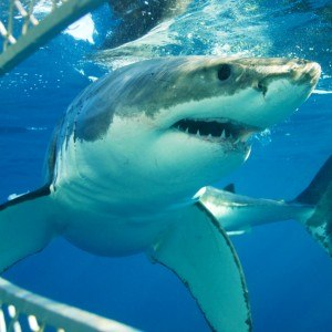 Eyre Peninsula Great White Shark Dive Safari